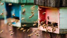 Fliegende Bienen in Großaufnahme vor einem Bienenstock