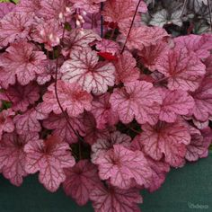 Heuchera 'Berry Smoothie' from the Chelsea Gold Medal winning nursery Plantagogo, which is also the holder of the National Collection for Heuchera, Heucherella and Tiarella. Shade Garden, Garden Plants, Coral Bells Heuchera, Outside Plants, Cut Flower Garden, Tropical Colors, Cut Flowers, Flower Making, Color Themes