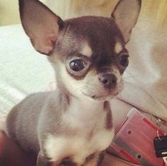 RoyalRamps.com! I LOVE CHIHUAHUAS                                                       …