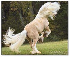 Gypsy Vanner draft horse, Romeo