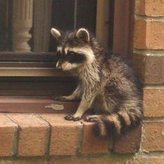 sweet little raccoon on a window ledge