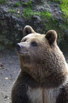 Brown Bear  Photo by Missud on Flickr