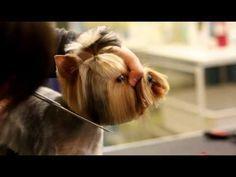 Стрижка Йорка короткая мордочка, стразики, хвостики, дракончик, Grooming a Yorkie Dogguru - YouTube