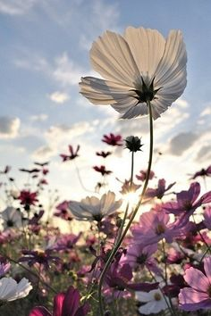 flores silvestres - this is amazing outside the 🌻 Wonderful Flowers, Pretty Flowers, Wild Flowers, Summer Flowers, Cosmos Flowers, Nice Flower, Field Of Flowers, Happy Flowers, Art Flowers