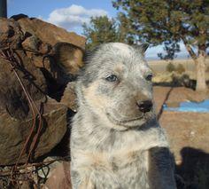 Rocky...Blue heeler puppy