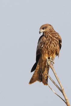 Black Kite (Milvus migrans) 黑鸢 | by wavethree