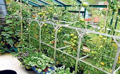 Grow Tomatoes Indoors Winter Squash, hanging tomatoes in green house - There is a great difference between the crops grown as starter plants and the greenhouse vegetables. Greenhouse Vegetables, Greenhouse Growing, Small Greenhouse, Greenhouse Gardening, Greenhouse Ideas, Growing Tomatoes Indoors, Growing Tomatoes In Containers, Growing Vegetables, Grow Tomatoes