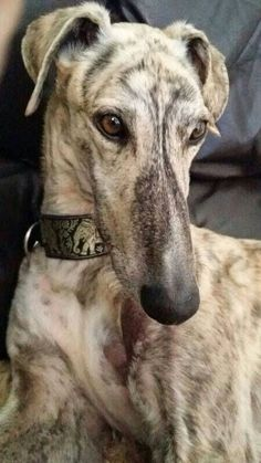 Galgo [An ancient Spanish breed of sight hound similar to a greyhound. Beautiful Dogs, Animals Beautiful, Beautiful Gorgeous, I Love Dogs, Cute Dogs, Funny Dogs, Cute Animals Images, Baby Animal Videos, Grey Hound Dog