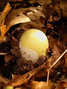 Amanita phalloides, young specimen death cap--beautiful but deadly Amanita Phalloides, Wild Mushrooms, Stuffed Mushrooms, Lobster Mushroom, Yellow Mushroom, Slime Mould, Mushroom Hunting, Mushroom Fungi, My Secret Garden
