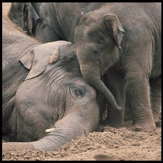 """Awww... Baby elephant trying to wake mom up! """"Mom, can I go and play now?"""" <3"""