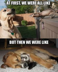 funny dog meme with a ferret and a dog fighting and then snuggling