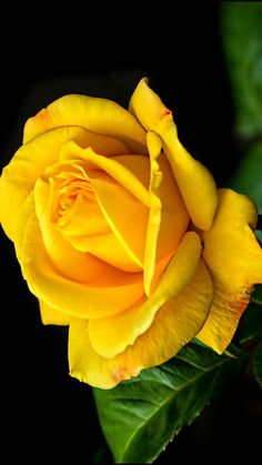 Pearl Beautiful Rose Flowers, Pretty Roses, Love Rose, My Flower, Beautiful Flowers, Lavender Roses, Tea Roses, Yellow Flowers, Flower Aesthetic