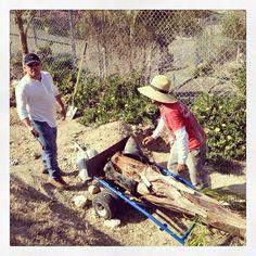 Planting palm trees.