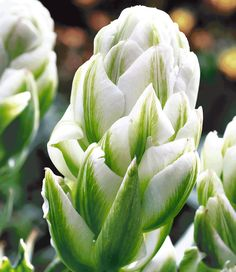 Double Late Tulip 'Harbour Light' Unusual Flowers, All Flowers, Amazing Flowers, Spring Flowers, White Flowers, Beautiful Flowers, Bulbous Plants, Spring Bulbs, Dream Garden
