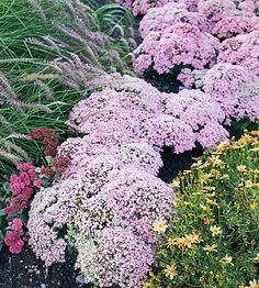 "Sedum 'Pure Joy', are easy-care, drought-tolerant, & come in a wide range of foliage & flower colors. This new upright sedum changes looks every season: In spring, small blue-green serrated leaves emerge, growing into a perfect low mound. As the plant matures, the leaves turn lighter green. In late summer,  the compact mounds are covered with a dome of pink star-shape flowers that develop into deeper pink seed heads.  Full sun, 12"" tall & 20"" wide, Zones: 3-9"