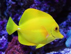 10 animales dorados que vale la pena ver - Pez cirujano amarillo