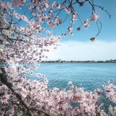 Visiting DC for the Cherry Blossom festival? Here is the guide to the Washington DC Cherry Blossoms including parking, photo tips, and peak bloom forecasts. Cheap Countries To Travel, Places To Travel, Travel Destinations, Cherry Blossom Dc, Blossom Trees, Blossoms, Washington Dc Travel, Tree Photography, Like Instagram