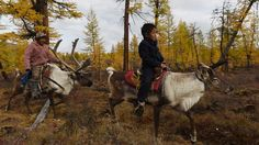 A single reindeer can travel 30 kilometers or more in a single day.