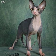 I love this cat! #sphynx #sphynxcat