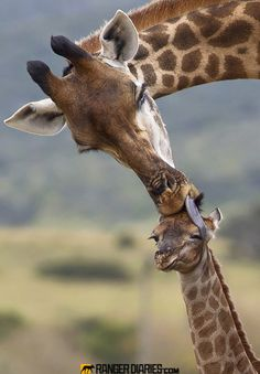 Giraffe care, by guide Jacques Matthysen. Photographed at Kariega, Eastern Cape, South Africa (kariega.com)