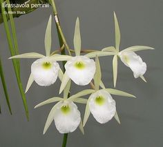 Brassavola perrinii. Found in Bolivia, Paraguay, Brazil and possibly Argentina at elevations of 1980 to 2580 meters as a small to medium sized, cool to cold growing epiphyte with slender, terete, stems carrying a single, apical, narrow, terete leaf that blooms on a short, 3 to 6 flowered inflorescence with fragrant flowers that occurs in the spring and summer.