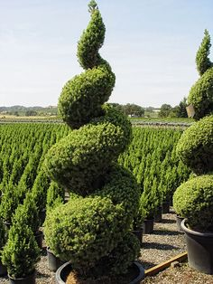 Behind this huge single spiral is a field of Monrovia evergreens waiting to be clipped into spirals.