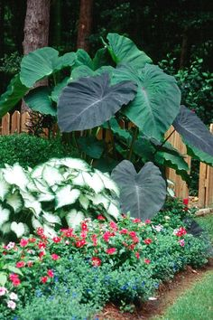 Caladiums and elephant ears! Love the Elephant ears. I like this layout and those BIG plants! Caladiums and elephant ears! Love the Elephant ears. I like this layout and those BIG plants! Tropical Garden Design, Tropical Landscaping, Garden Landscaping, Tropical Gardens, Tropical Plants, Texas Landscaping, Tropical Flowers, Landscaping Ideas, Big Plants