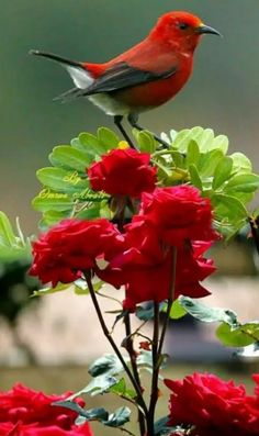 Garden n country is part of Birds - Garden n country likes · talking about this A place to enjoy country and nature Exotic Birds, Colorful Birds, Exotic Flowers, Red Flowers, Bird Wings, All Birds, Bird Pictures, Pretty Birds, Beautiful Roses