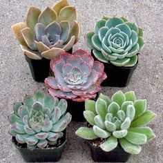 A selection of 5 beautiful Echeveria succulents, each plant 2in to 2.5in in diameter. Shop online at Mountain Crest Gardens. Free Shipping on orders over $75.