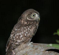 Little Owl (Athene noctua). Photo by Annemieke Borrias.