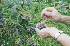 Picking blueberries at Sauvie Island Farms by Eva Moon Press