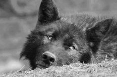 Gray Wolf--Defenders of Wolves Photo