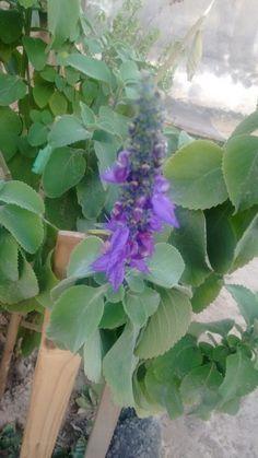 Flor de Boldo