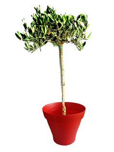 Grand olivier avec cache pot rouge