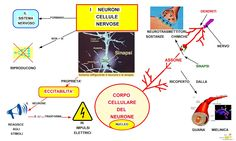 Mappa Concettuale: I neuroni cellule nervose #scienze #studentville