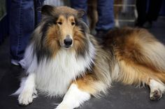 Collie by ccho, via Flickr