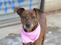 SAFE - 02/10/15 --- TO BE DESTROYED - 02/08/15 Brooklyn Center  My name is FOXXY. My Animal ID # is A1027115. I am a female br brindle whippet. The shelter thinks I am about 5 YEARS old.  I came in the shelter as a STRAY on 02/04/2015 from NY 11417, owner surrender reason stated was STRAY.  Main Thread: https://www.facebook.com/photo.php?fbid=958058460873700