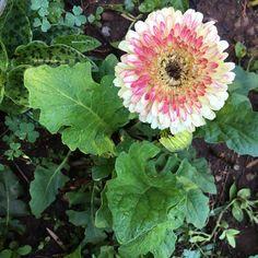 #gerbera #gerberadaisies #rosegarden #midspring