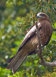☀Black Kite Perched