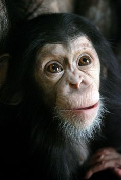 chimpanzee by floridapfe, via Flickr