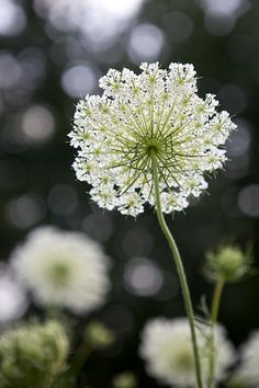 Queen Annes Lace: I planted these with seeds - hope they come up next spring!