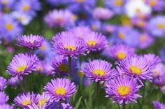 Aster (Zone: 4-8) Fall Flowers, Summer Flowers, Lavender Flowers, Pink Flowers, Growing Flowers, Planting Flowers, Flower Gardening, Aster Blume, Flower Landscape