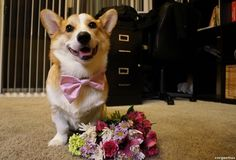 On Tuesday, he'll wake you up with a mixed bouquet.   Corgnelius Would Love To Be Your Valentine