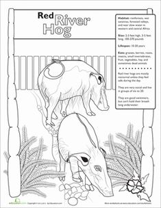Second Grade Science Worksheets: Red River Hog Red River Hog, Second Grade Science, Science Worksheets, Toddler Learning Activities, Animal Facts, Endangered Species, Teacher Resources, Pigs, Animal Drawings