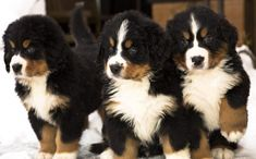 Bernese Mountain Puppy, Bernese Dog, Mountain Dogs, List Of Animals, Baby Animals, Cute Animals, Animal List, Cute Puppies, Cute Dogs