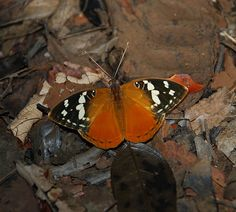 https://flic.kr/p/52uHTw | Resting on the forest floor: Aterica rabena (Nymphalidae) | A nymphalid resting on the forest litter, Ankarana Special Reserve, Madagascar