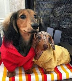 "Get great tips on ""Dachshund dogs"". They are available for you on our site. Dachshund Breed, Dachshund Love, Daschund, Dapple Dachshund, Cute Puppies, Cute Dogs, Baby Animals, Cute Animals, Weenie Dogs"