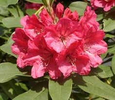 Rhododendron 'Acclaim' blooms midseason and has a cold hardiness to -5 F (-21 C).