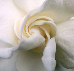 tuberose and gardenia. tell me why all tuberose and gardenia perfume is like $75