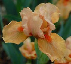 SDB Iris germanica 'Autumn Tangerine' (Spoon, 2002)